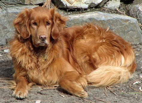 Dog Photo Golden Retriever Friendliest Dog