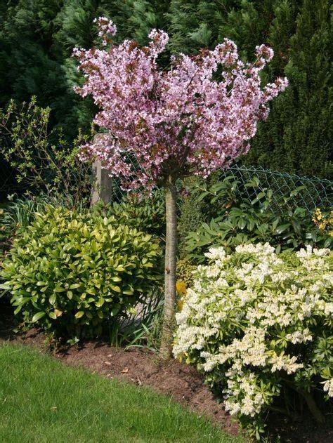 Mini Bäume Winterhart by Zwerg Blutpflaume Prunus Cistena Gartengestaltung
