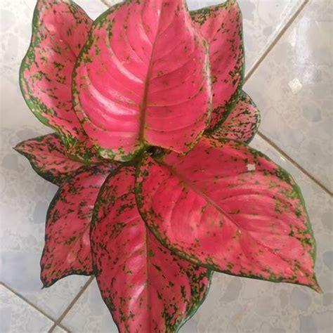 aglaonema katrina jual tanaman hias rp tiara red