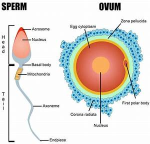 How Does The Fertilization Process Take Place In The Human