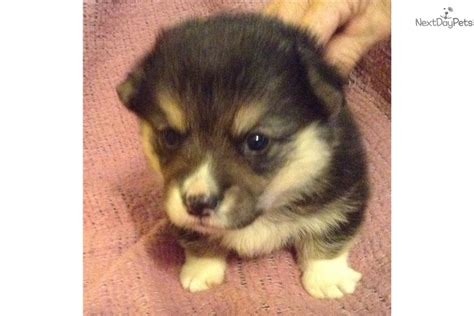 welsh corgi pembroke puppy  sale  dallas fort