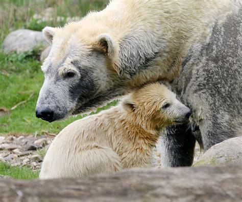 Eisbärenbaby 2018  Zoom Erlebniswelt