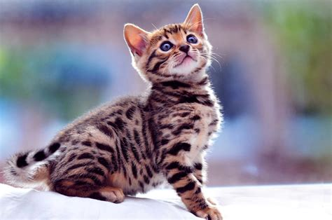 Exotic Spotted And Marbles Bengal Cats Hd Photos