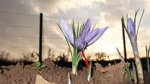 Warum Sind Pflanzen Grün : safran im eigenanbau warum sie die knollen im september pflanzen sollten artimondo magazine ~ Markanthonyermac.com Haus und Dekorationen