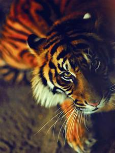 Tiger Photography Pictures, Photos, and Images for ...