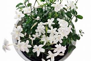 Jasmin Pflanze Winterhart : jasmin im k bel so gedeiht er pr chtig ~ Frokenaadalensverden.com Haus und Dekorationen