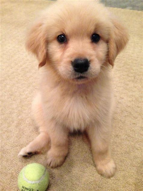Best 25 Golden Puppy Ideas On Pinterest Golden
