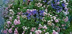 Rosen Und Stauden Kombinieren : rosen und ihre begleiter darauf solltest du achten willkommen in franks kleinem garten ~ Orissabook.com Haus und Dekorationen