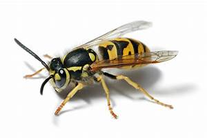 File European Wasp White Bg Jpg