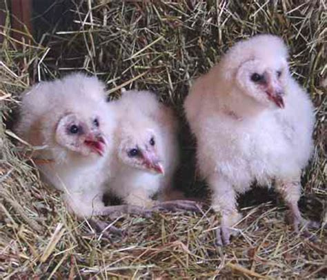 Barn Owl Breeders by Hawk Creek S Barn Owl Program