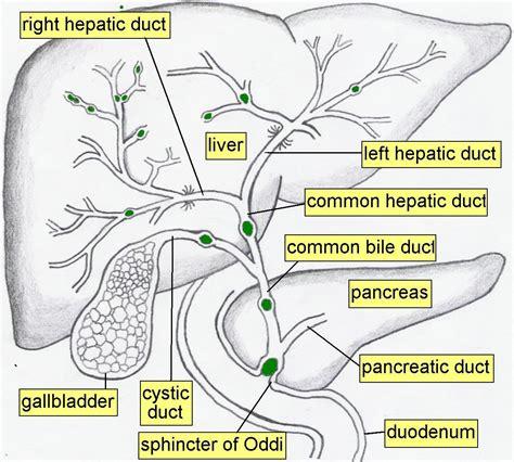 Anatomy Chapter 15 Digestive System Organ Location