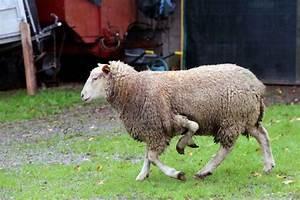 Le Mouton A 5 Pattes : le mouton a 5 pattes ~ Louise-bijoux.com Idées de Décoration