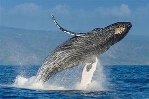 The Plan To Save The Humpback Whales U2014and How It Succeeded