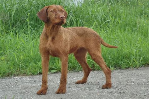 Do Vizsla Dogs Shed by Image Gallery Vizsla Shedding