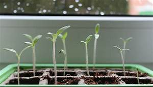 Quand Planter Les Tomates Cerises : le semis des tomates et leur repiquage tutuoriel ~ Farleysfitness.com Idées de Décoration