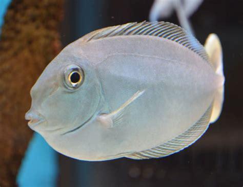 Something Fishy :: Aquarium Livestock :: Fish :: Unicorn