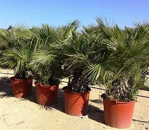 Palmen Für Draußen : winterharte palmen winterharte olivenb ume sowie ~ Michelbontemps.com Haus und Dekorationen
