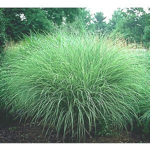 morning light grass morning light maiden grass buy best prices