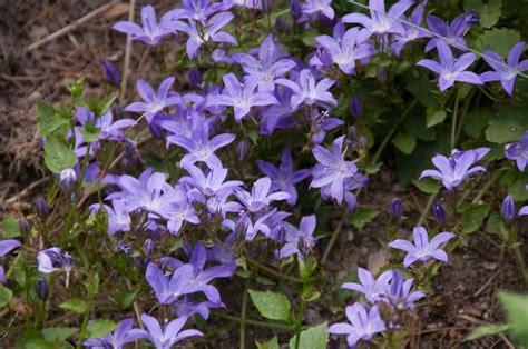 bellflower plant canula poscharskyana blue bellfower plant