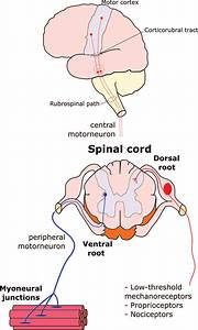 Central Nervous System And Its Afferent And Efferent