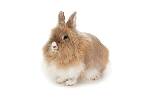adopter un lapin nain
