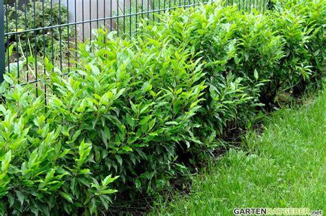 portugiesischer kirschlorbeer hecke portugiesische lorbeerkirsche pflege pflanzen d 252 ngen schnitt