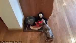 Halloween Candy Dish Dog Food by Pet Owner Pranks Dog Chloe By Transferring Her Dinner Into