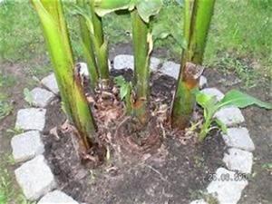 winterharte palmen in rudersdorf bberlin bananen bilder With feuerstelle garten mit banane zimmerpflanze früchte