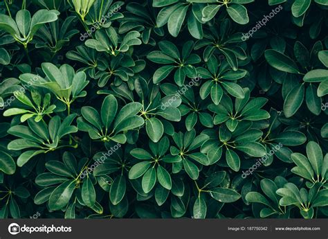 Tropical Leaves Texture Background, Dark Green Foliage