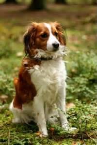 Do Weimaraner Puppies Shed by Kooikerhondje Breed Information Amp Pictures Kooiker