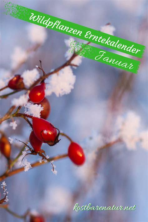 Garten Pflanzen Januar by Diese Wildkr 228 Uter Kannst Du Im Januar Sammeln Herbs