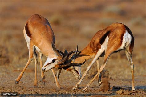 36 Best Gazelles Images On Pinterest