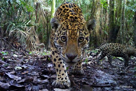 Jaguars Moving by Panthera S Feline Freeways Are Helping To Save The