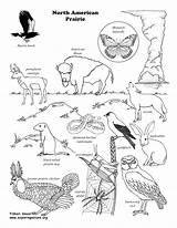 Coloring Prairie Animals Animal Activities Dog North America Habitat Wildlife Drawing Printable Grassland Zoology Result Science Map Habitats Desert Nature sketch template