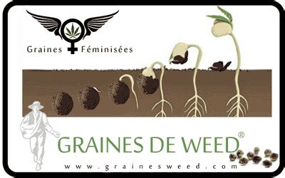 graine de cannabis femelle interieur mexicaine femelle graines de