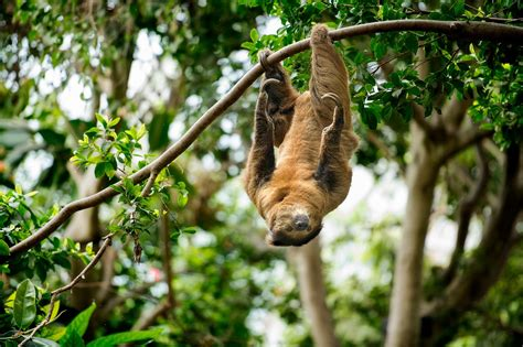 Tropical Rainforest Sloth