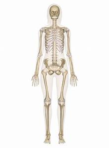 Skeletal System  U2013 Labeled Diagrams Of The Human Skeleton