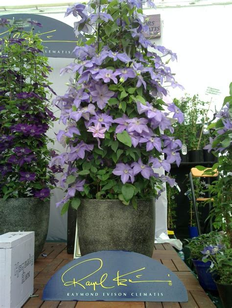 can i plant clematis in a pot clematis new world collection shimmer hardy 2 year plants 2 litre ebay
