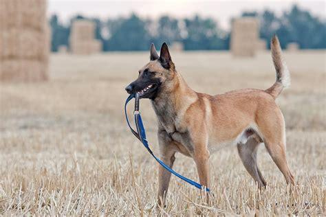Small Black And White Kitchen Ideas - belgian malinois dog breed information