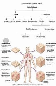 Epithelial Tissue Diagram