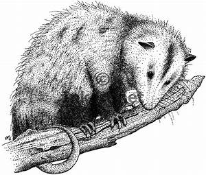 Virginia Opossum Didelphis Virginiana Line Art And Full