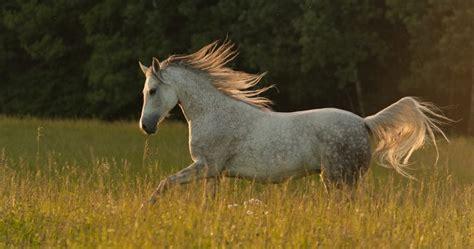 gorgeous arabian horses     breath