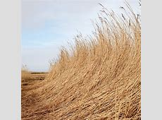 Types of reed In season reeds and thatch housetohome