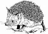 Hedgehog Coloring Igel Ausmalbilder Zum Malvorlagen Ausmalen Kostenlos Ausdrucken Kinder Fur Ausmalbild Realistic Kleinkinder Animals Adults Regarding Animal Drucken Basteln sketch template