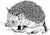 Hedgehog Coloring Animals Hedge Hedghog Hudson sketch template