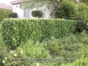 Ligustrum Wax Leaf Privet Hedge
