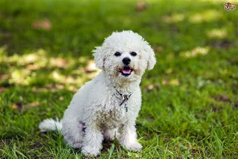 Cutest Non Shedding Small Dogs by Hypoallergenic Dogs List The Best Dog Breeds For People