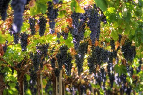 how do grape vines grow grape growing growing your grapes