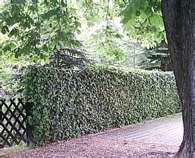 Zaun Begrünen Immergrün by Heckenpflanzen Mein Sch 246 Ner Garten Forum