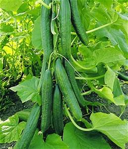 Mini Gurken Pflanzen : gurken pflanzen online kaufen bestellen bei baldur garten ~ Buech-reservation.com Haus und Dekorationen